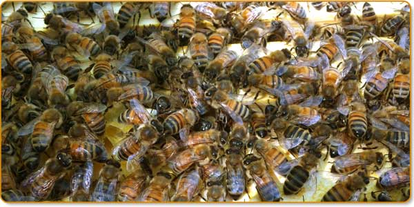 Bees gathered around Queen Bee